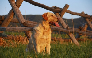Exercise-Induced Collapse and Hereditary Nasal Parakeratosis in the Labrador Retriever