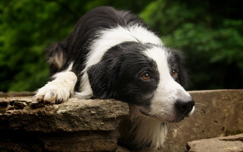 What You Need to Know Before Breeding or Training Your Border Collie