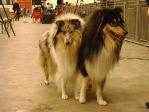 Breed of the Week: Collie