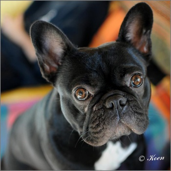 Preventing Hereditary Cataracts in the French Bulldog