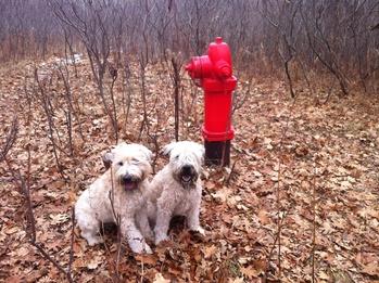 Dog Breeds of Irish Origin: Part 2 – Terrier Breeds