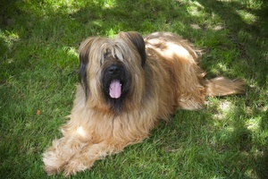 Preventing Inherited Congenital Stationary Night Blindness in the Briard