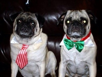 Breed of the Week: Pug