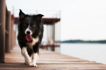 Preventing Trapped Neutrophil Syndrome in the Border Collie