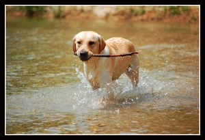 Degenerative Myelopathy and Centronuclear Myopathy in the Labrador Retriever