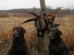 My bird dog isn't hunting like he used to.  What's wrong Doc?