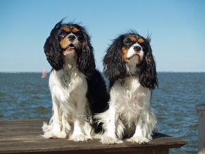 If a cavalier King Charles spaniel falls in the woods and no one's around, is it episodic falling syndrome?