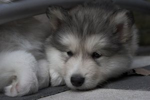 Polyneuropathy- A Preventable Inherited Disease of the Alaskan Malamute