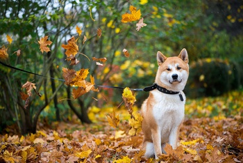 Fall Safety for You and Your Pup