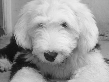 Genetic mutation may make your Old English Sheepdog sterile