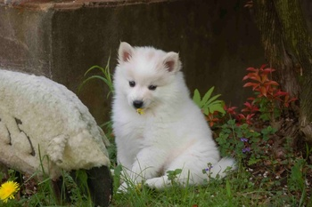 Prevention Is Smart Breeding- Progressive Retinal Atrophy and the American Eskimo Dog