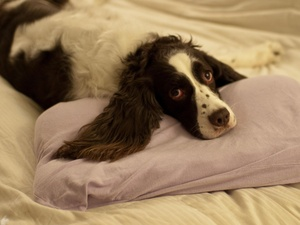 Progressive Retinal Atrophy: An Inherited Disease of the English Springer Spaniel