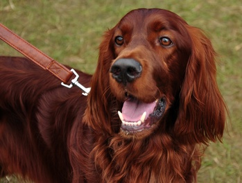 Leukocyte Adhesion Deficiency: A Preventable Inherited Disease of the Irish Setter