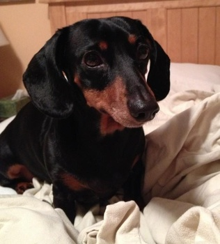Breed of the Week: Dachshund