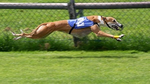 Breed of the Week: Greyhound