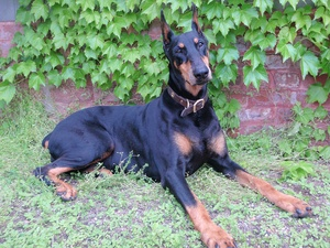 Breed of the Week: The Doberman