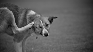 Why is My Dog so Itchy? Part 2: Environmental Allergens and Canine Atopic Dermatitis
