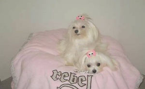 Breed of the Week: Maltese