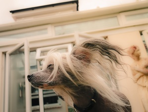 Preventable Inherited Eye Diseases of the Chinese Crested