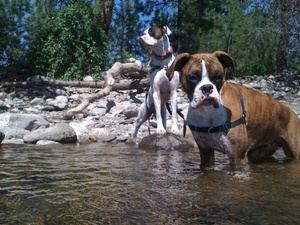 Breed of the Week: Boxer