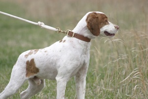Does your Brittany have recurring infections?