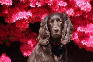 What's the Deal with von Willebrand Disease II? - An Important Update for the Boykin Spaniel