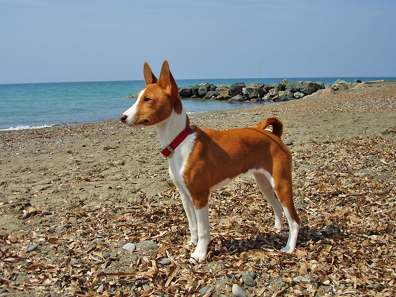 Basenji Paws – Billy Knight