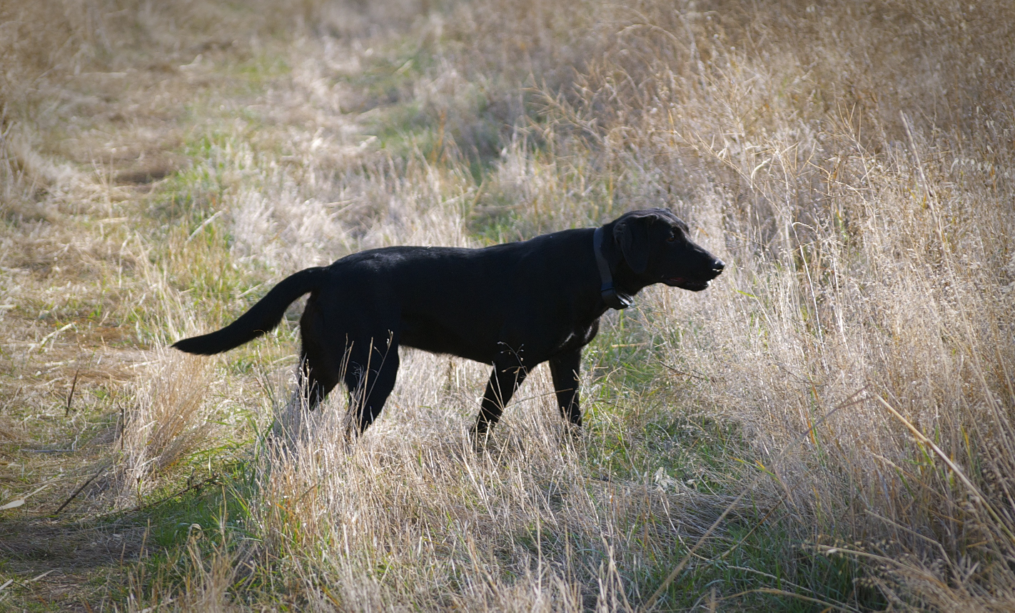Displaying 19> Images For - Types Of Hunting Dogs...